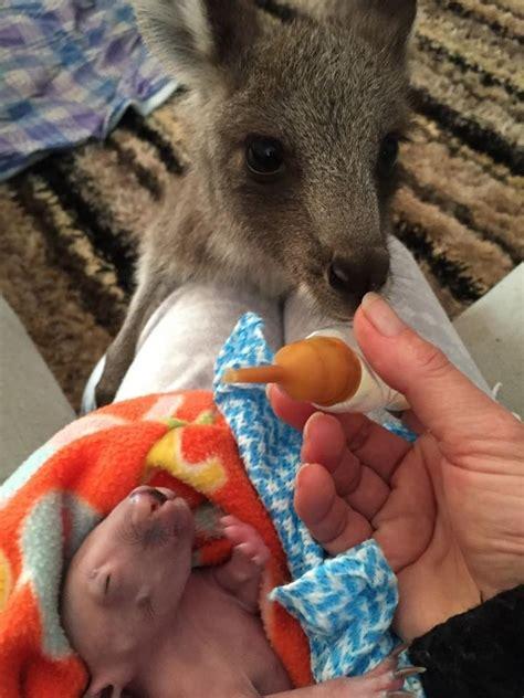 doodlebug orphaned baby kangaroo orphaned kangaroo takes care of baby wombat photos