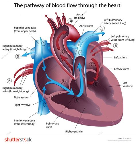 pattern of heart blood flow 17 best images about radiology on pinterest endocrine
