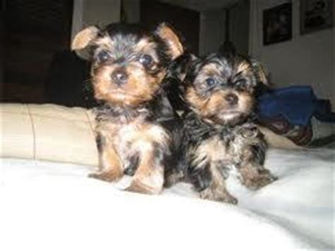 teacup yorkies ohio and teacup yorkie puppies for free adoption northeast ohio dogs for