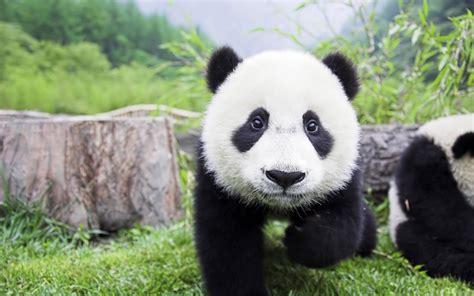 panda wallpaper for mac 1280x800 panda baby desktop pc and mac wallpaper
