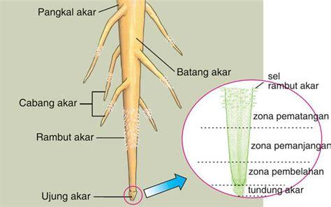 mengenal tumbuhan anatomi  morfologi tumbuhan