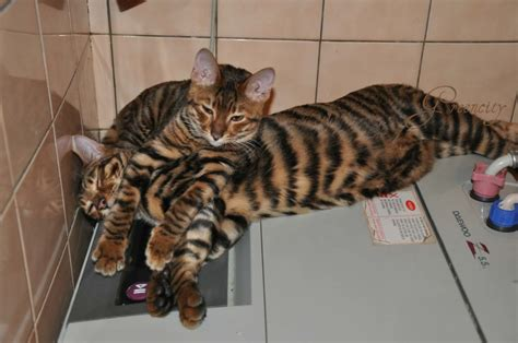 toyger cat toyger information health pictures training pet paw