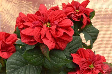 new poinsettia varieties