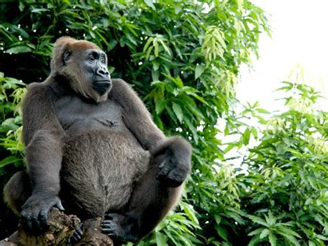 288 best images about The news for gorillas on Pinterest ...