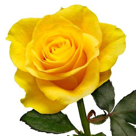 Wallpaper Bunga Mawar Kuning | macam macam mawar beserta maknanya