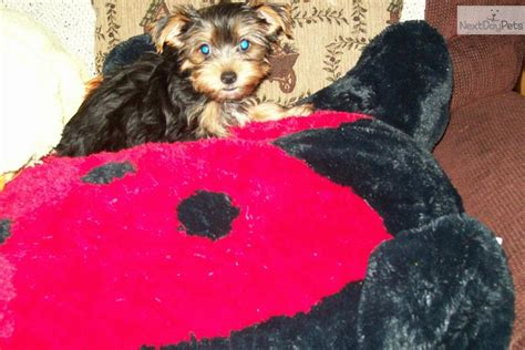 yorkies for sale in pittsburgh terrier yorkie puppy for sale near pittsburgh pennsylvania 12185526 b131