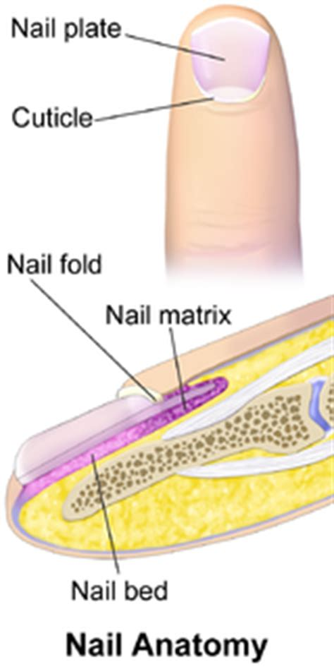 nail bed anatomy nail anatomy wikipedia