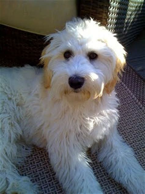 double doodle dogs info temperament training puppies