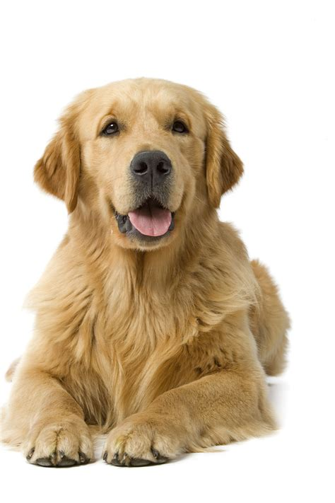 difference between golden retriever and labrador retriever what are the differences between the golden retriever and the labrador royal canin 174
