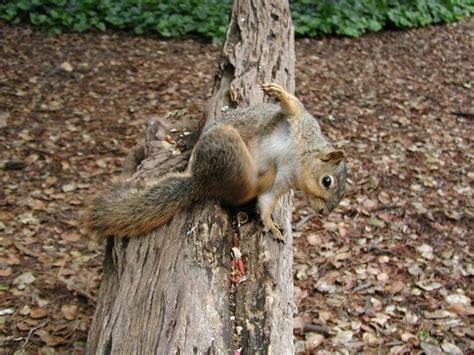 wo schlafen eichhörnchen 16 unglaubliche fakten 252 ber tiere die deinen tag