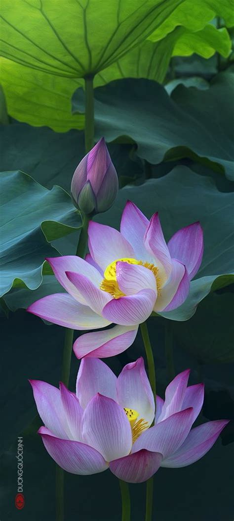 1000 Ideas About Lotus Flower Art On Pinterest Lotus