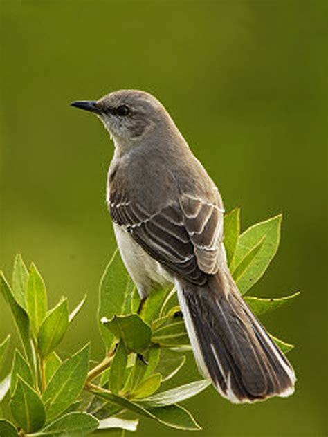 state bird of texas mockingbird birds and nests pinterest