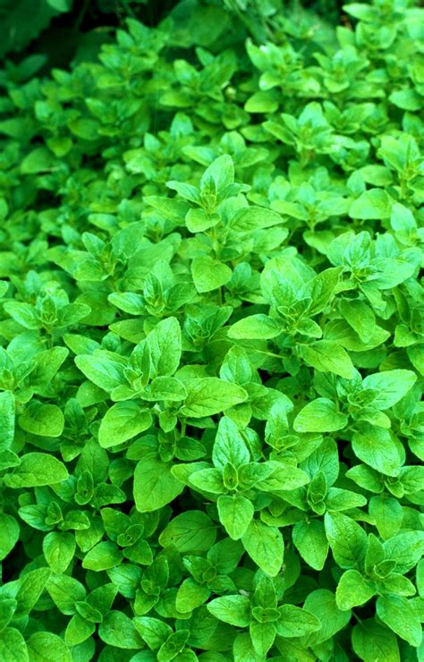 Teh Oregano vriksha nursery 100 plants you can grow in containers in in mumbai all for sale vriksha