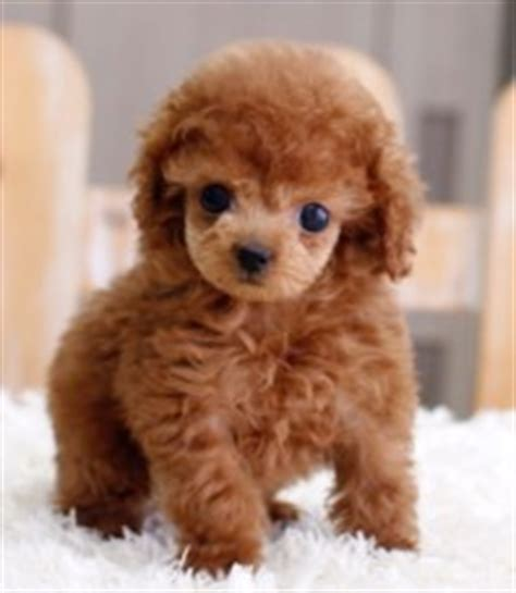 brown maltese puppies brown maltese teacup www pixshark images galleries with a bite