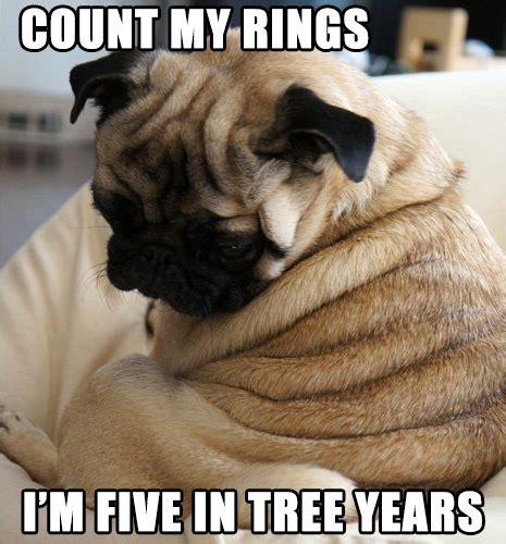 pug wrinkles 12 dogs who make wrinkles look rover