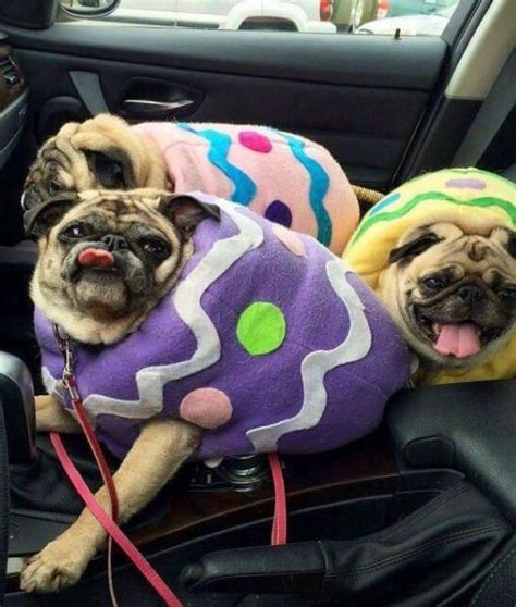 pug board eggs or pugs pets pets pug and eggs