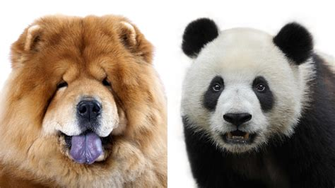 chow chow panda puppies chow chow panda www imgkid the image kid has it