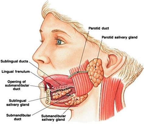 diagram of salivary glands model and parotid gland duct pictures to pin on