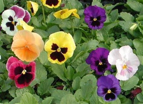 foto di fiori viole viole specie e variet 224 parte prima pollicegreen