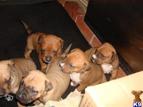 american staffordshire terrier puppies for adoption american staffordshire terrier puppies for adoptio 35271