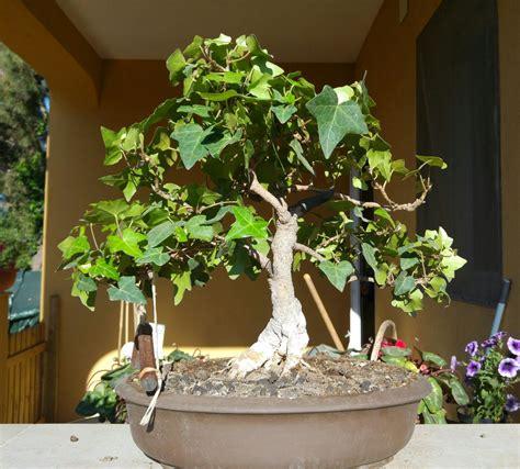edera coltivazione in vaso edera consigli forum di giardinaggio it