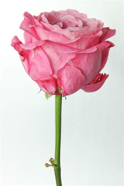 rose pennock floral page 2 pink rose rick ligthelm flickr
