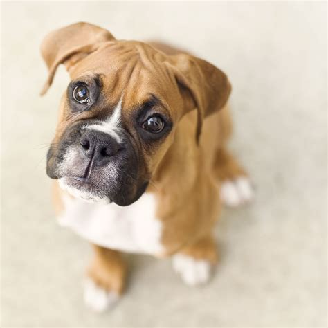puppy facts and information boxer breed information pictures characteristics facts animal and doggies