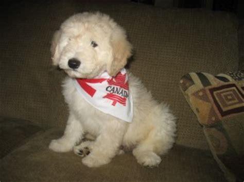 golden retriever poodle cross puppies golden retriever poodle cross puppies