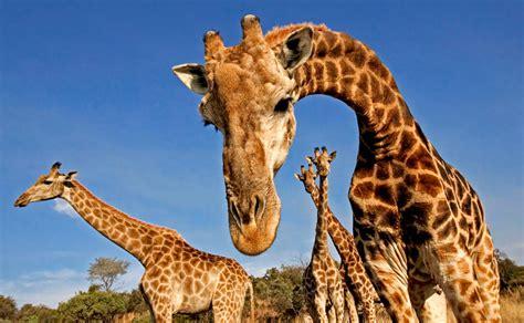 imagenes reales de jirafas jirafa caracter 237 sticas tipos qu 233 comen d 243 nde viven