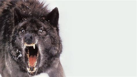 wallpaper black wolf black wolf wallpaper wallpapersafari