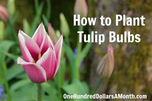 how to plant tulip bulbs one hundred dollars a month