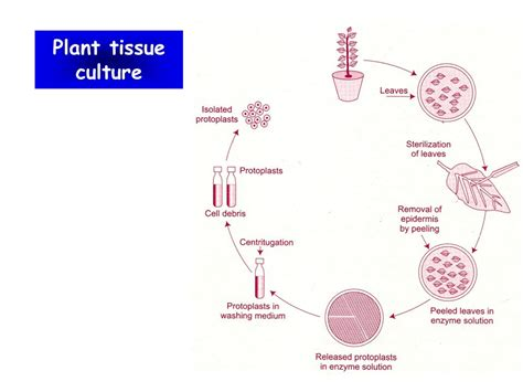 plant cell tissue and organ culture cell suspension agricultural biotechnology ppt video online download