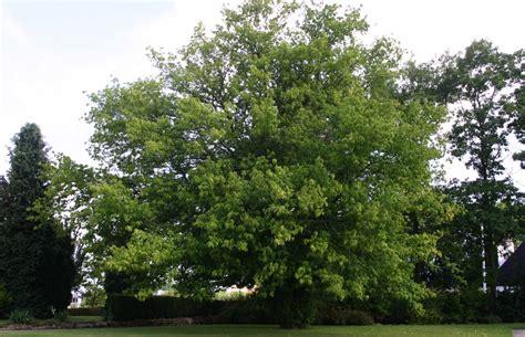 maple trees hardiness zone 4 aceraceae maple family acer negundo manitoba maple form tree exposure sun