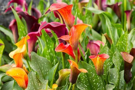 fiore la calla significato calla significato dei fiori linguaggio dei