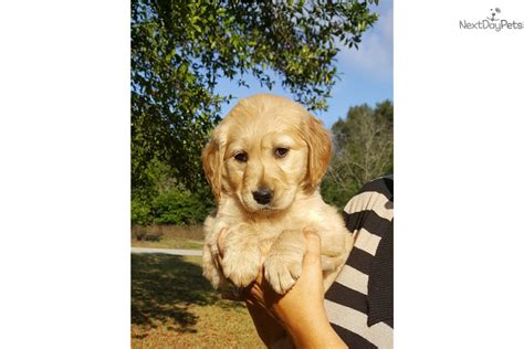 golden retrievers for sale in orlando gloria the golden golden retriever for sale in orlando fl 4435073282
