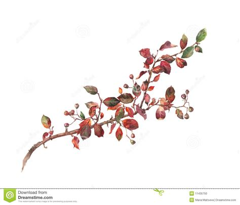 cotoneaster watercolor painting stock illustration
