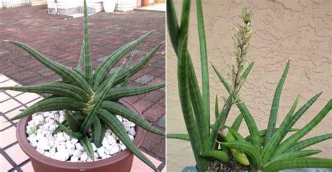 sansevieria patens snake plant world  succulents