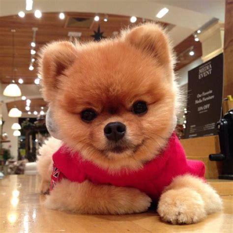 what of is jiffpom breeeed of jiffpom on the hunt