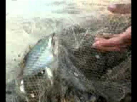 Jala Ikan 9 jala ikan sepat terbesar di sungai