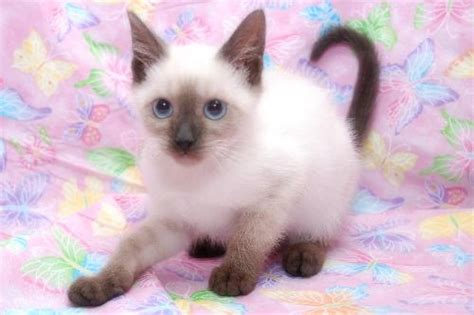 Montana the Chocolate Point Siamese Kitten's Web Page