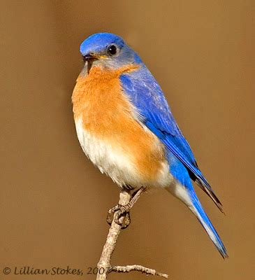 stokes birding blog eastern bluebird breeding all is well