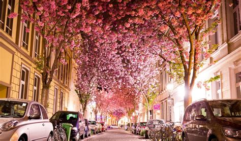 Cherry Blossom Facts by Cherry Blossom Tunnel Germany Feel The Planet