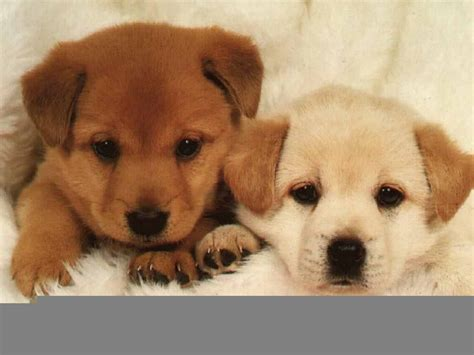s puppies puppys images puppys hd wallpaper and background photos 20387367