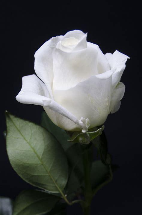 imagenes de rosas blancas bonitas mejores 81 im 225 genes de rosa blanca en pinterest rosas