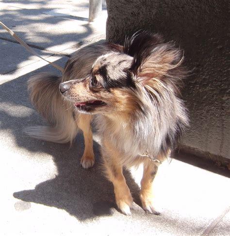 pomeranian dachshund mix for sale pomeranian chihuahua dachshund mix