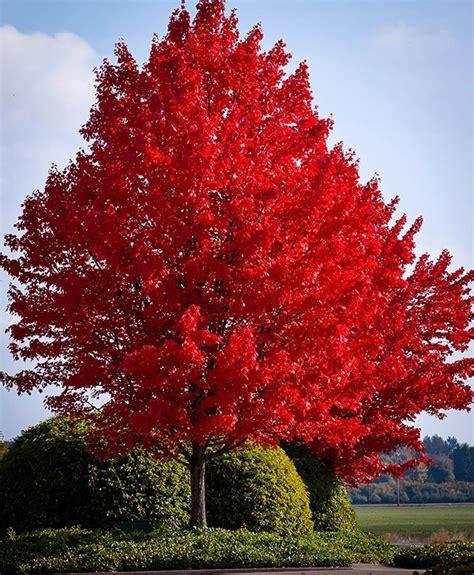 matelic image pink maple tree