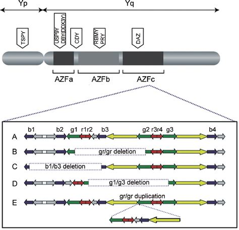 Recent advances in the genetics of testicular failure Song ... Y Chromosome Microdeletion