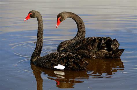 australian black swan symbolic meaning whispers