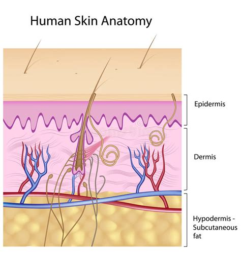 human skin royalty free stock photography cartoondealer 28539899 human skin anatomy non labeled version royalty free stock photo image 18631485