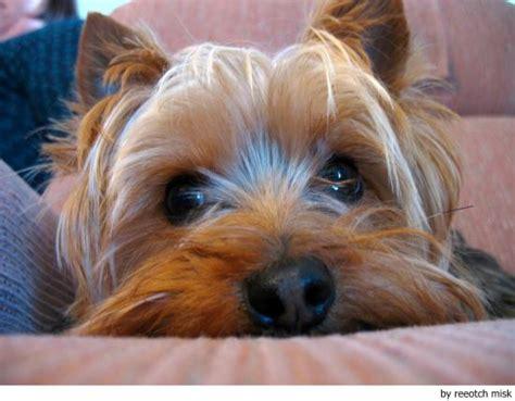 australian yorkie silky terrier animals wiki pictures stories